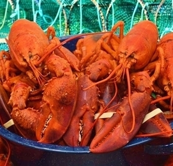 *25 FRESH COOKED LOBSTERS - (1.50-1.75 LBS)